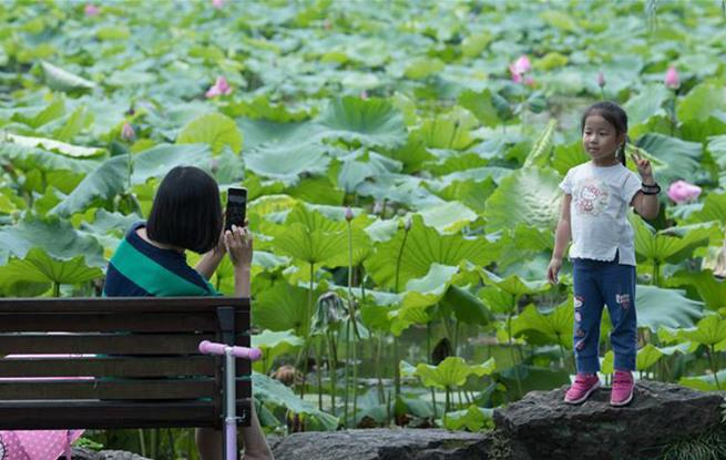 杭州:西湖荷花怒放