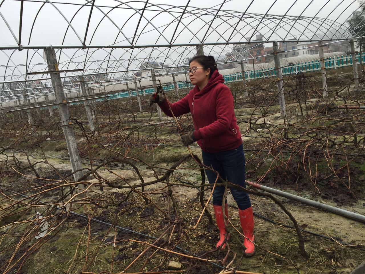 林恩辉在修剪葡萄树.赵艳红摄