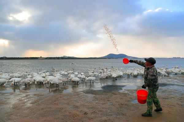 1月20日上午,荣成大天鹅国家级自然保护区天鹅湖管理站投喂员正在给