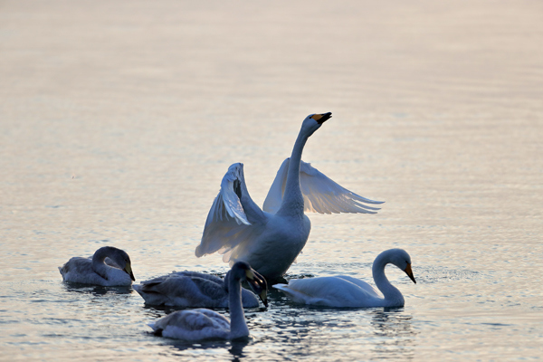 翩翩起舞的天鹅