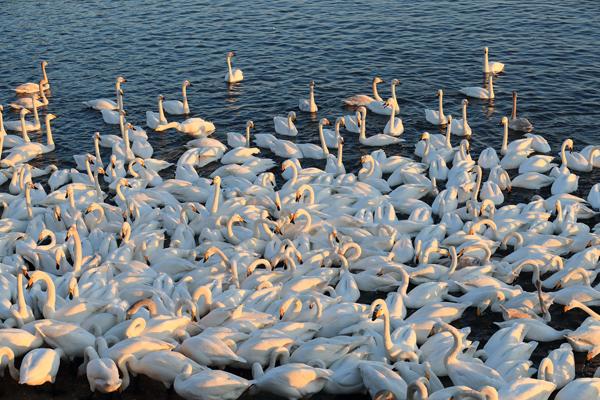 夕阳西下时,天鹅聚集到一起休息。