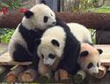 双胞胎熊猫定名