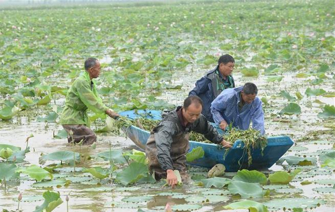 广昌县航天育种引领白莲产业升级