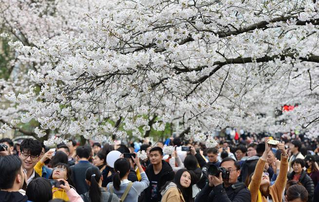 南京迎最美樱花季 花美人多