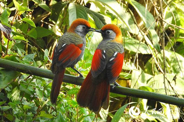 两只赤尾噪鹛在鸟塘栖息