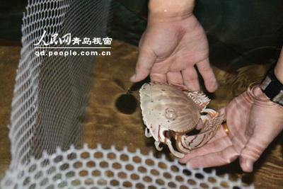 世界螃蟹品种图片; 海底世界 螃蟹 长腿蟹;