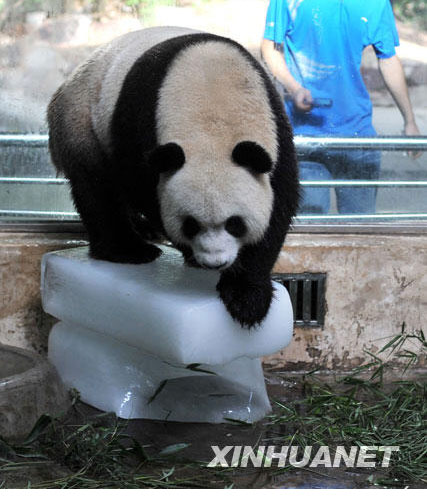 """7月13日,武汉动物园的大熊猫""""希望""""站在冰块上降温."""