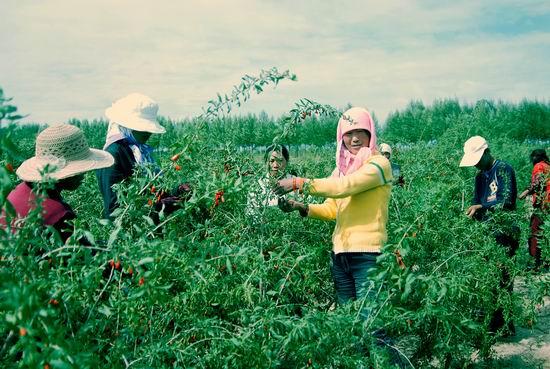 柴达木盆地2万农民喜摘枸杞